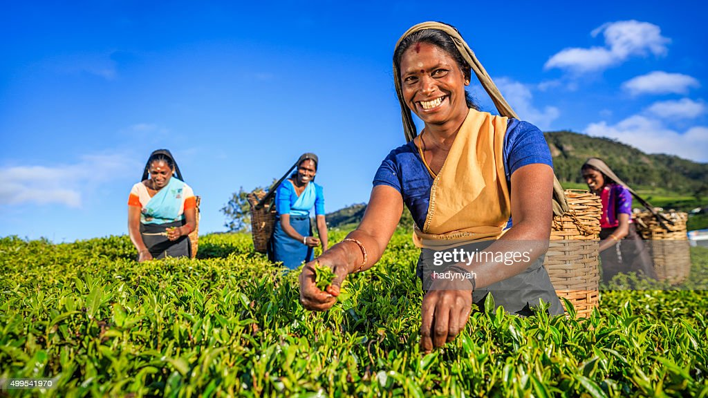 Tamil women plucking tea leaves on plantation, Ceylon : Stock Photo