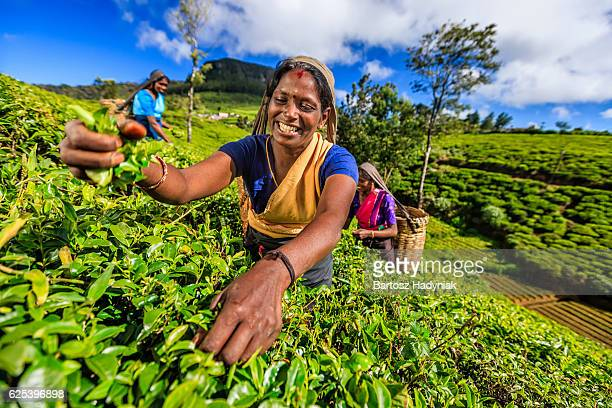 タミルの女性を物色できる茶葉のプランテーション、セイロン
