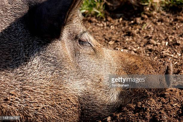 Tamworth pig at the Cotswold Farm Park at Guiting Power in the Cotswolds Gloucestershire UK