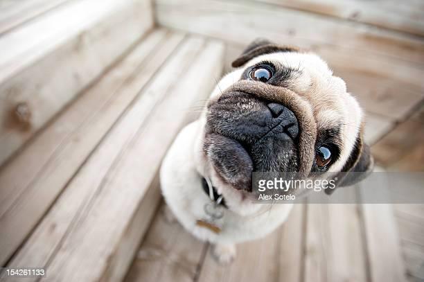 Tan & black pug dog staring at camera