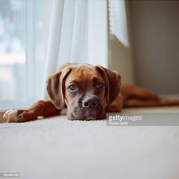 Tan boxer puppy laying on carpet near window