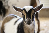 Multicolor young goat kid with ears out on farm in Wisconsin, USA