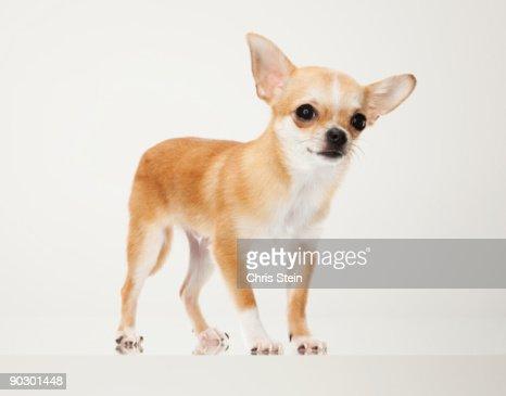 Tan Chihuahua dog portrait