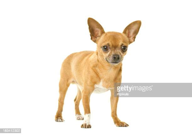 A tan chihuahua isolated on a white background