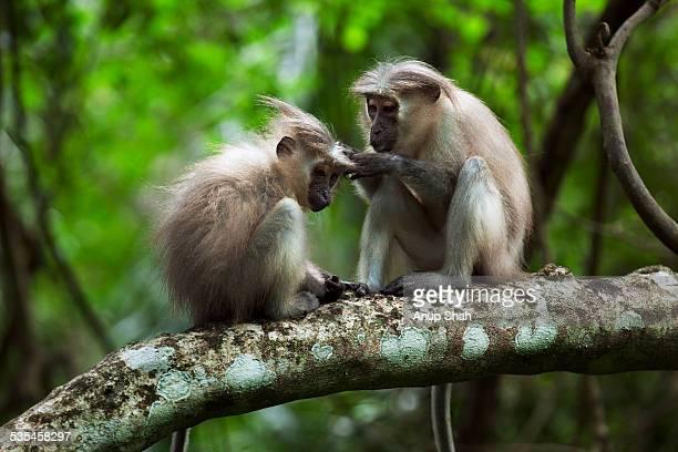 Tana mangabey adult female grooming juvenile male