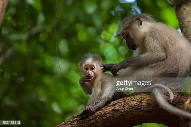 Tana mangabey female grooming her baby