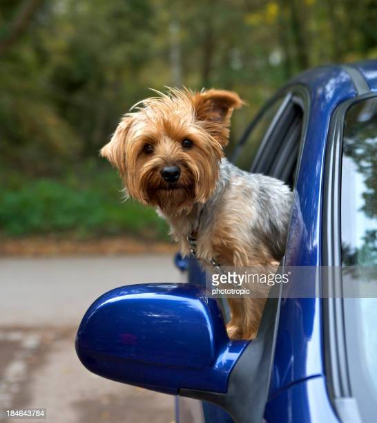 Tan-colored terrier dog looking out of a blue car's window