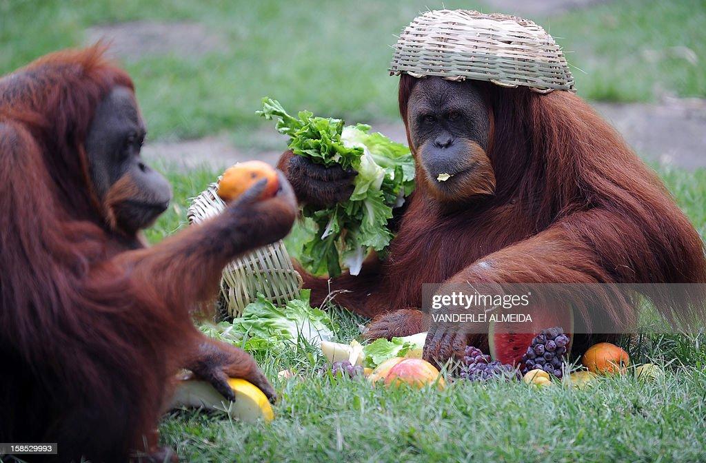 Tanga, a Sumatran Orangutan (Pongo Pygmaeus Abelli) enjoys some fruit after receiving a Christmas hamper, at Rio de Janeiro's zoo on December 18, 2012.