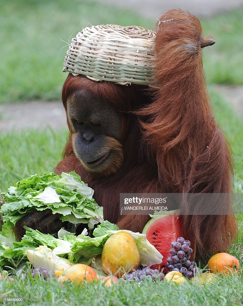 Tanga, a Sumatran Orangutan (Pongo Pygmaeus Abelli) enjoys some fruit and vegetablesafter receiving a Christmas hamper, at Rio de Janeiro's zoo on December 18, 2012.