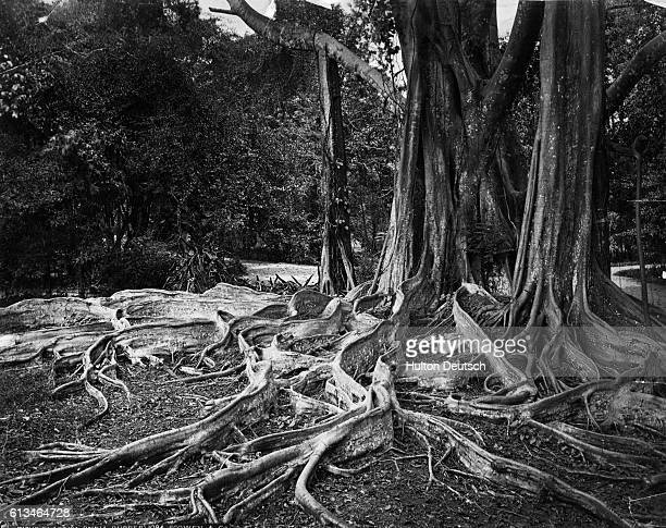 A tangle of roots extends from the trunk of an Indian rubber tree