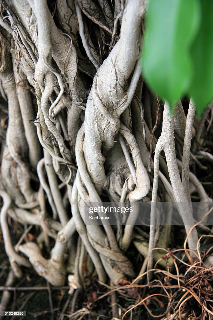 Tangled roots : Foto de stock