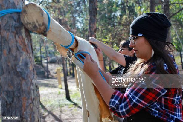 Tania Larsson co founding member of Dene Nahjo and moosehide tanning instructor ties a moose skin to a wooden pole in Yellowknife Northwest...