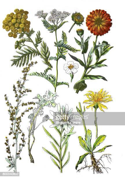Chrysanthemum vulgare Bernh yarrow Achillea millefolium Ringelblume Calendula officinalis absinthe wormwood Artemisia absinthium L edelweiss...