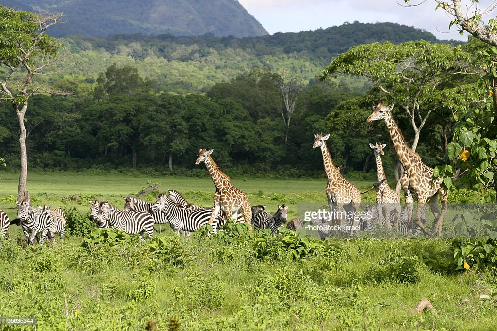 Tanzania, Giraffes and Zebras