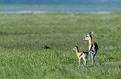 Tanzania Ngorongoro Crater Thompson's Gazelle With Calf