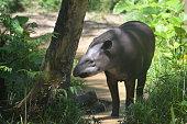 A Tapir in the Amazon rainforest. Iquitos, Loreto, Peru