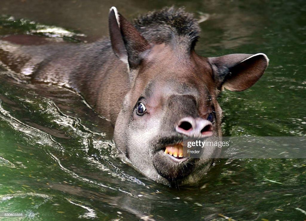 tapir in water : Stock Photo
