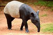 Tapir full length standing (Tapirus indicus)