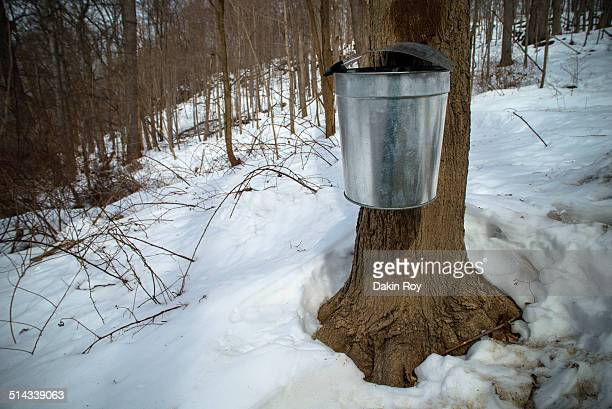 Tapped trees for maple syrup manufacturing