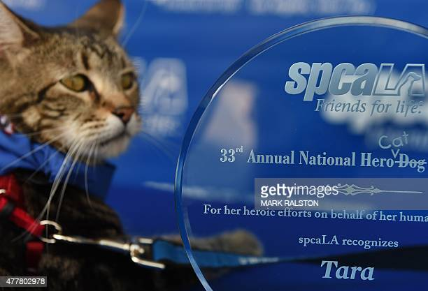 Tara a 7yearold female cat looks out at the media after being presented with the 33rd Annual National Hero Dog Award by the Society for the...