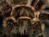 Tarantula, close up