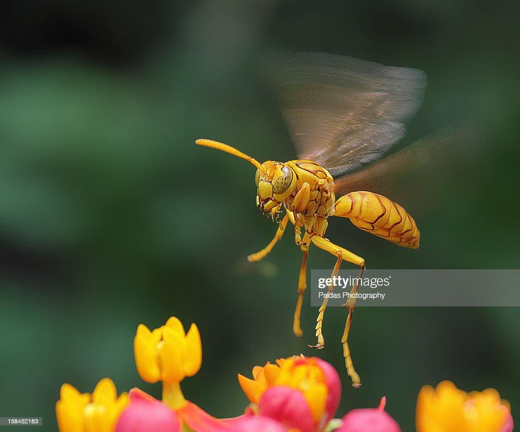 Tarantula Hawk Wasp  OR Yellow Paper Wasp : Stock Photo