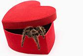 Tarantula in heart-shaped box