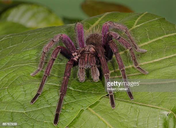Tarantula (family Theraphosidae) on leaf, Colombia