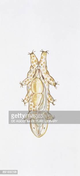 Tardigrades illustration