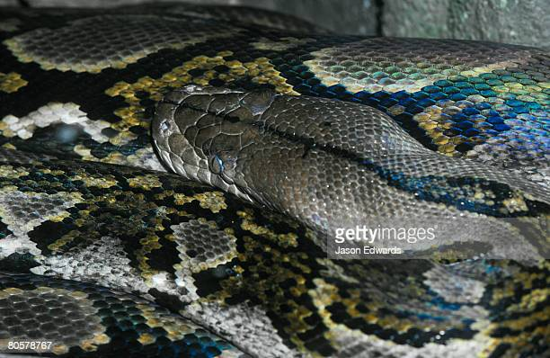 The massive coils of the worlds largest snake the Reticulated Python.