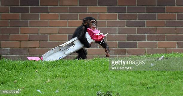 Taronga Zoo's 15monthold chimpanzee 'Fumo' carries one of his Christmas presents after the chimps at the exhibit discovered some giftwrapped food...