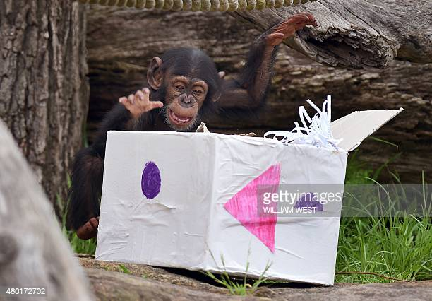 Taronga Zoo's 15monthold chimpanzee 'Fumo' plays with one of his Christmas presents after the chimps at the exhibit discovered some giftwrapped food...