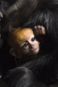 Taronga Zoo's new addition an infant male endangered Francois Langur named Gan Ju clings to his mother Saigon at Taronga Zoo on May 7 2010 in Sydney...