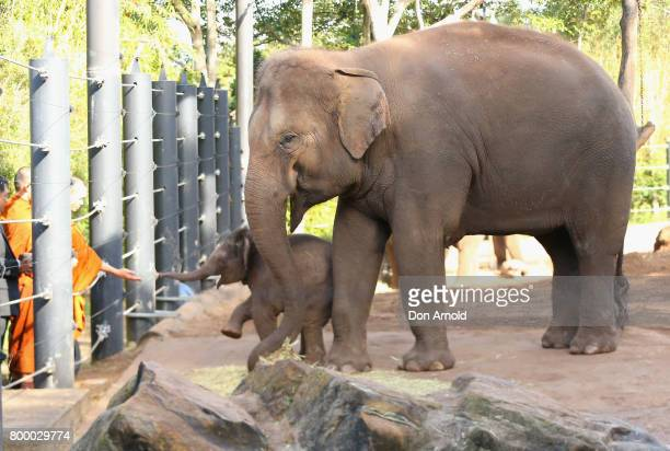 Taronga's newest Asian elephant calf Jai Dee and his mother Pak Boon are seen during a Thai naming ceremony at Taronga Zoo on June 23 2017 in Sydney...