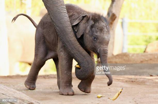 Taronga's newest Asian elephant calf Jai Dee is assisted by his mother Pak Boon as he trips over whilst eating a banana just after a naming ceremony...