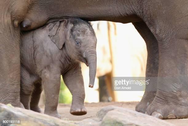 Taronga's newest Asian elephant calf Jai Dee nestles himself between his mother Pak Boon's legs just after a naming ceremony at Taronga Zoo on June...