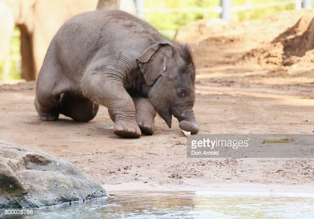 Taronga's newest Asian elephant calf Jai Dee trips over whilst eating a banana just after a naming ceremony at Taronga Zoo on June 23 2017 in Sydney...