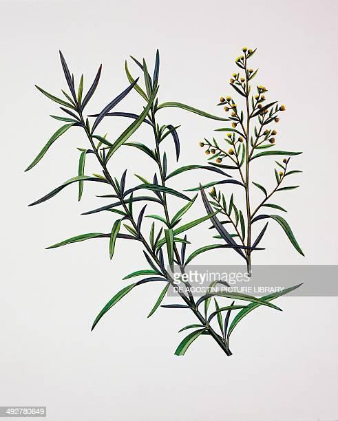 Tarragon Asteraceae illustration