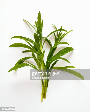 Tarragon with drops of water