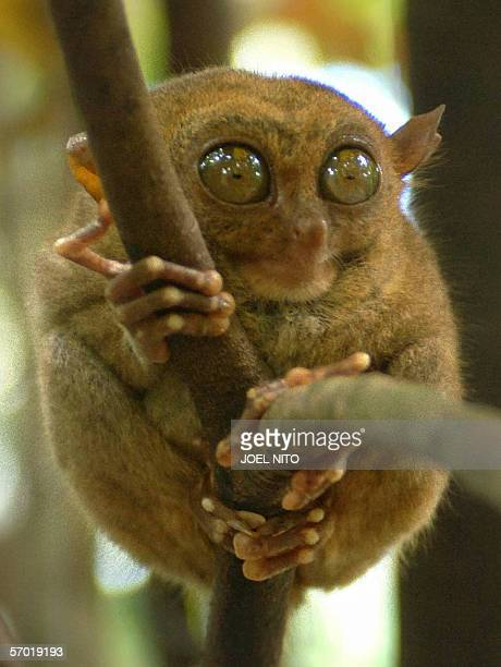 Tarsier clings to a branch in a wildlife sanctuary in the central Philippine island of Bohol 20 January 2006 The tarsier is the world's smallest...