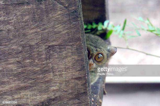 A tarsier photographed in Tandurusa Bitung These tiny animals appear cute with big eyes and a long tail Tarsier head can rotate through 180 degrees...