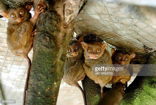 Tarsiers stare out toward visitors from inside their cage at a captive breeding center in Loboc on Bohol island in the central Philippines 10 January...