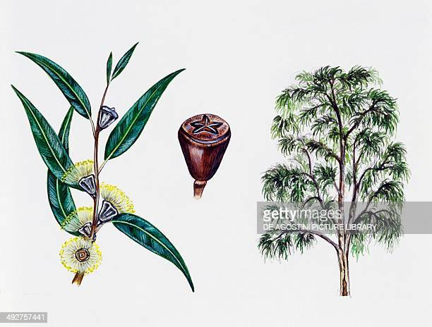 Tasmanian Blue Gum or Southern Blue Gum Myrtaceae tree leaves flowers and fruit illustration