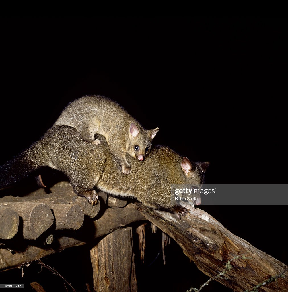 Tasmanian Brush-tailed Possum (Trichosurus vulpecula) : Stock Photo