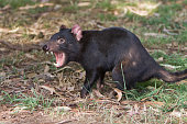 Close up of a Tasmanian Devil showing its sharp teeth