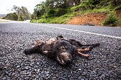 Tasmanian devil killed on a country road on November 12 2014 near Wilmot Australia The devices are part of virtual fence technology which has been...