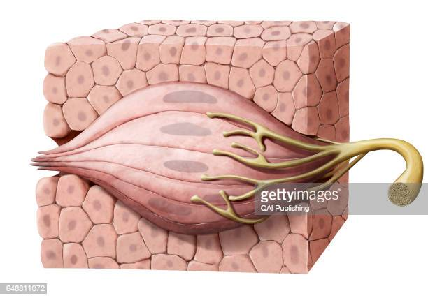 Taste bud Organ of taste formed of sensory cells that in contact with saliva detect flavors and transmit them to the brain in the form of nerve...