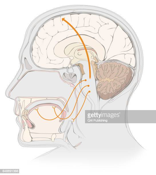 Taste mechanism When a taste bud comes into contact with a sapid substance dissolved in the saliva the cells that form the bud generate nerve signals...