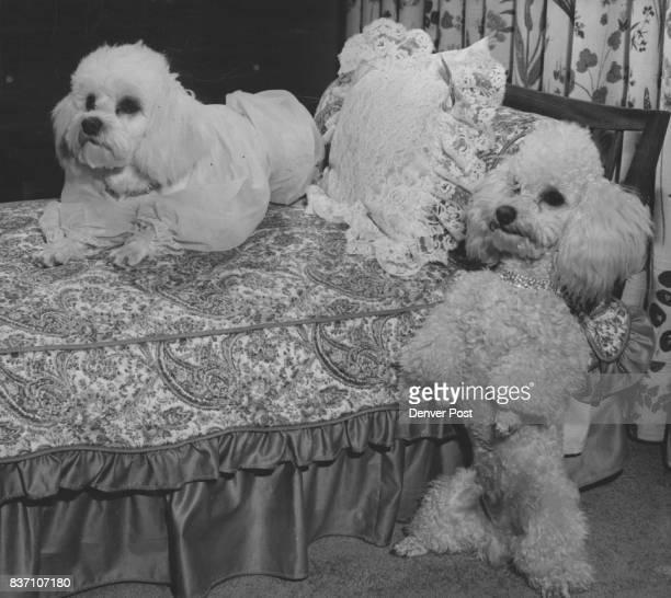 Tata pampered pet of Mrs John B Luke Hayden relaxes while Baron Bill Jones Stands Credit Denver Post