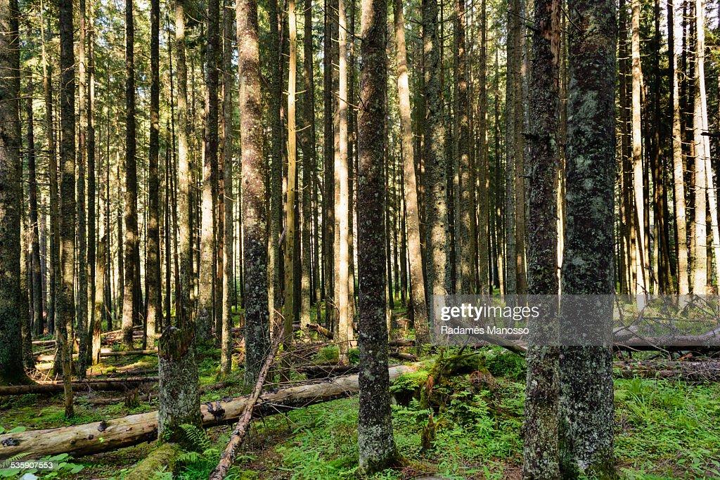 Tatra woods : Stock Photo